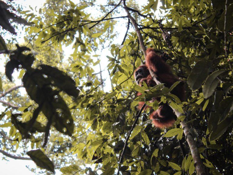 Orangutan Indonesia