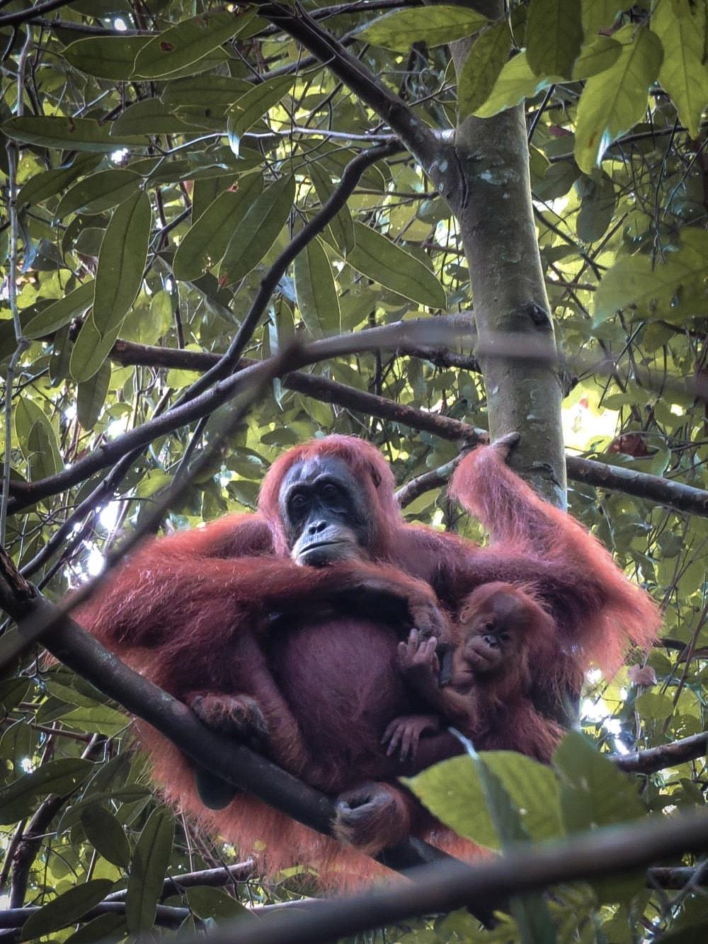 bukit lawang orangutan