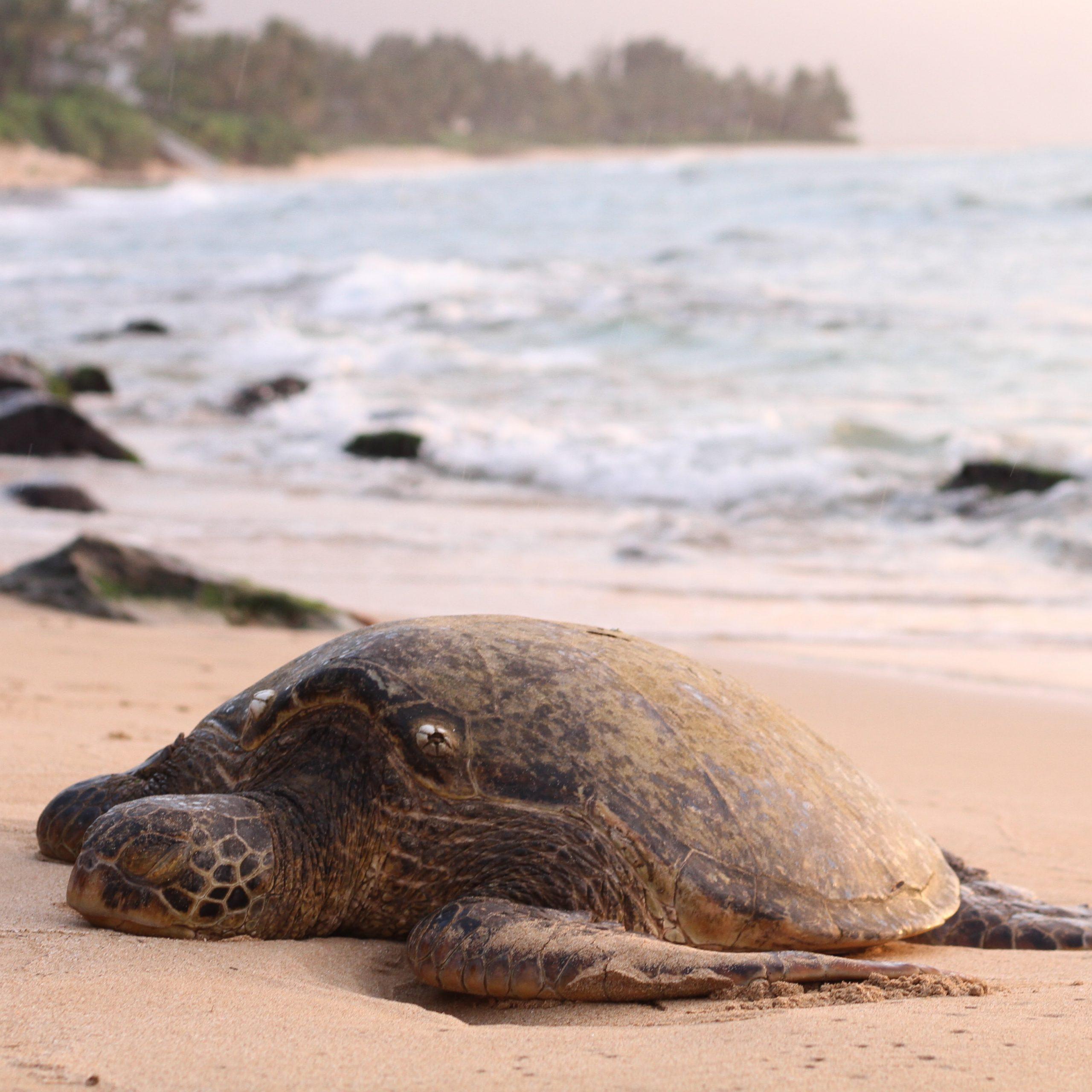 turtles suriname